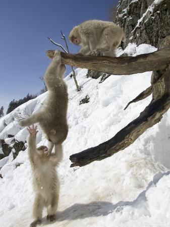 Three Japanese Macaques (Snow Monkeys) Play on a Branch, One Hanging