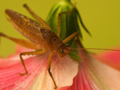Close-up of Katydid Sitting on Pink Flower
