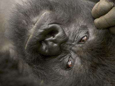 Male Mountain Gorilla (Gorilla Gorilla Beringei), Portrait of Face