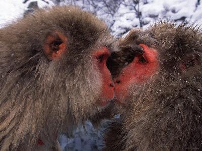 Two Japanese Macaques (Snow Monkeys), Examining Each Others Eyes