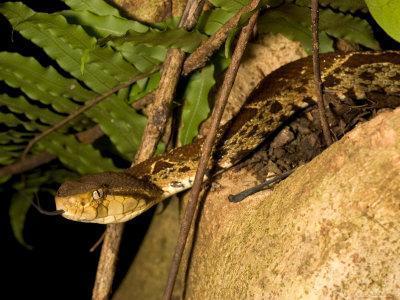 Fer-De-Lance (Bothrops Asper) Pit Viper on Rock with Tongue Out