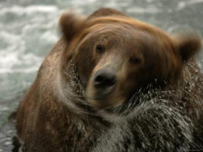 Motion Photo, Alaskan Brown Bear (Ursus Arctos) in Water Shaking Head