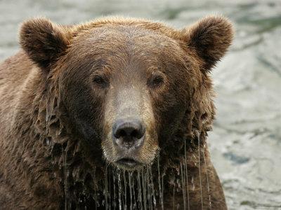 Alaskan Brown Bear (Ursus Arctos) in Water, Water Dripping from Face