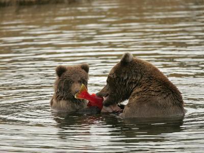 Alaskan Brown Bear with Cub (Ursus Arctos) Eating Salmon in Water