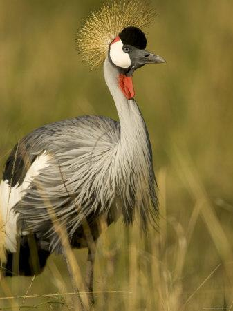 Profile of an African Crested Crane in Grass (Balearica Pavonina)