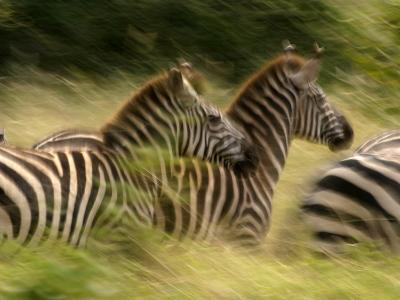 A Panned View of Common Zebras Running Through Grass (Equus Quagga)