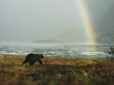 Alaskan Brown Bear and Rainbow near Nonvianuk Lake in Katmai National Park, Alaska