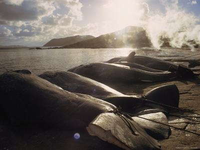 Butchered Whales Line the Beach Following a Hunt, Frenchman Bay near Albany, Australia