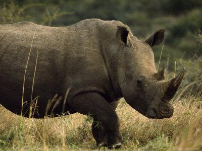 White Rhinoceros, Ubizane Game Park, South Africa