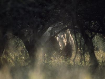 White Rhinoceros, Hluhluwe National Park, South Africa