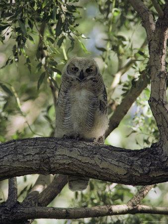 Juvenile Great Horned Owl on a Branch, des Lacs National Wildlife Refuge, North Dakota