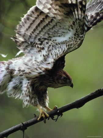 Juvenile Northern Goshawk Works Its Wings, Ready to Fly, Montana