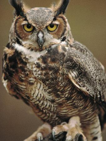 Captive Great Horned Owl