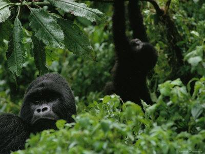 Silverback Gorilla and a Playful Youngster in the Dense Jungle, Virunga Mountains, Rwanda