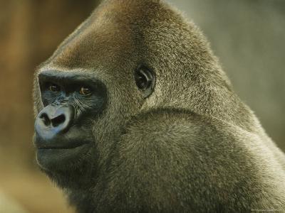 Portrait of a Gorilla Named Willie B., Zoo Atlanta, Georgia