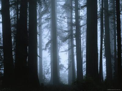 Shrouded in Mist, the Trunks of a Crowd of Giant Redwoods Soar, Redwood National Park, California