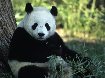 A Giant Panda Eating Bamboo, National Zoo, Washington D.C.
