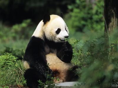 A Giant Panda Smelling a Flower, National Zoo, Washington D.C.