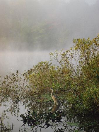 Great Blue Heron Waits for Breakfast near the Appalachian Trail, Lake Hebron, Maine