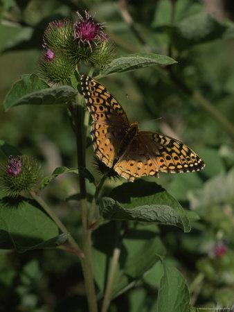 Butterfly on the Stem of a Clover Blossom, Isle Royale National Park, Michigan