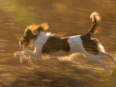 An English Springer Spaniel Runs Through a Field