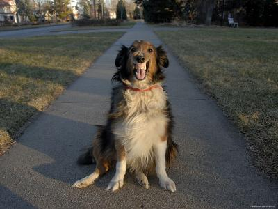 A Sheltie Dog Smiles While Sitting on a Neighborhood Sidewalk