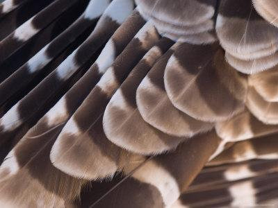 A Barred Owl (Strix Varia) Wing at a Raptor Recovery Center