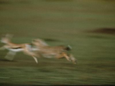 A Cheetah Chases a Gazelle