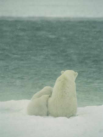 A Polar Bear and Her Cubs Sit Near Waters Edge