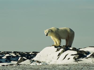 A Polar Bear Stands Atop a Snow-Covered Rock