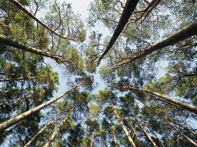 A View of Towering Trees, Looking up at Them from Below