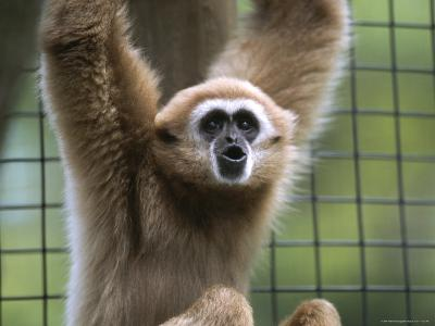 Close View of a White-Handed Gibbon