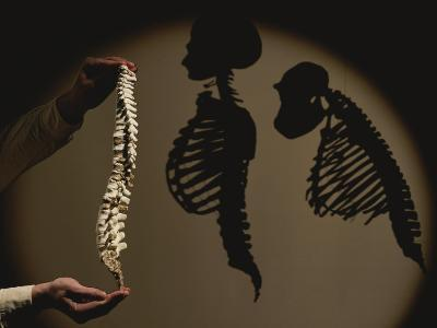 Australopithecus Afarensis Model with Human and Chimp Shadows Behind