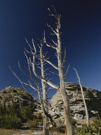 Dead Pine Trees from Old Forest Fire, Popo Agie Wilderness
