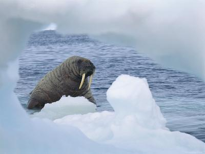 A Walrus Peers Through a Hole in an Iceberg