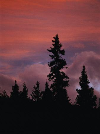 Silhouetted Evergreen Trees against a Colorful Evening Sky