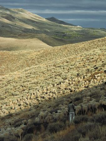 Sheep Herder with Flock in the Great Basins Northern Valley