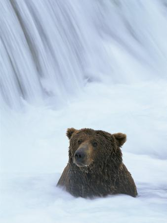 Brown Bear Sits in Froth of Waterfall During Salmon Spawning