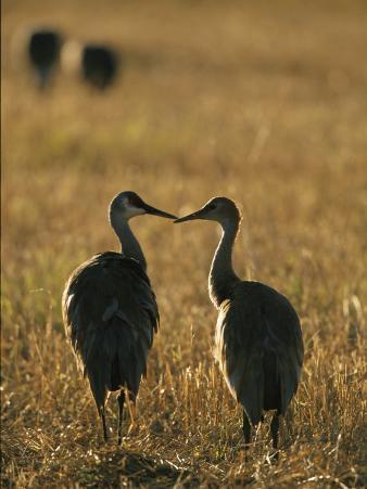Pair of Sandhill Cranes, Beak to Beak