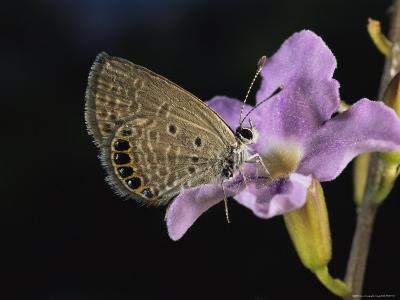 The Jeweled Grass Blue Butterfly is Australias Smallest Butterfly