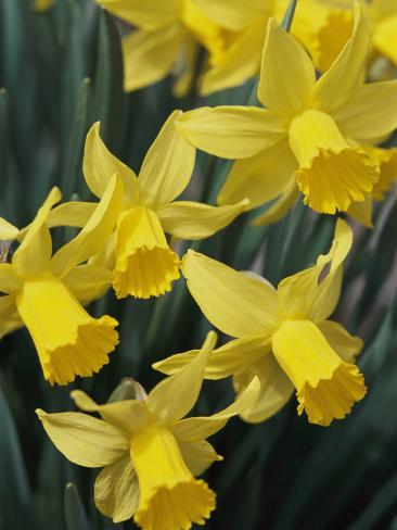 Spring Flowers Daffodils Early Spring Massachusetts Photographic