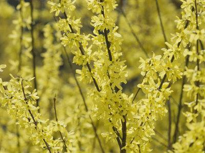 Spring Flowers, Forsythia, Mid-April, Massachusetts
