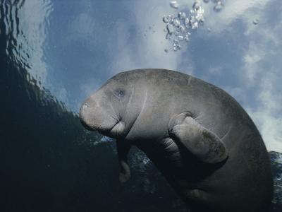 Close View of a Florida Manatee in Floridas Crystal River