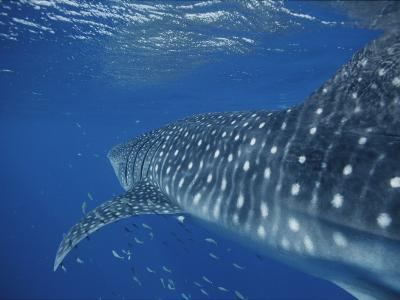 A School of Fish and a Whale Shark off the Coast of Western Australia