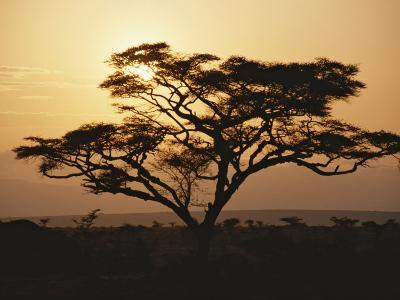 Sunset Through a Silhouetted Acacia Tree
