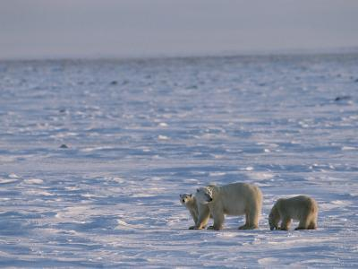 A Polar Bear Sow and Her Cubs Cross a Icy Landscape