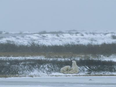 A Polar Bear Sow and Her Cub Sitting and Resting in a Snowy Landscape