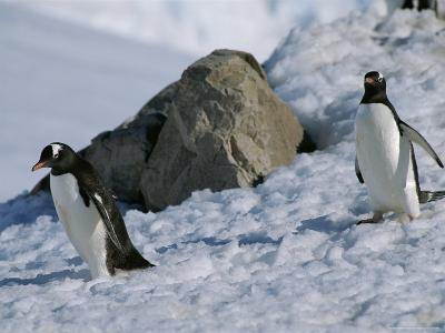Gentoo Penguins, Pygoscelis Papua, Waddle Down an Icy Slope