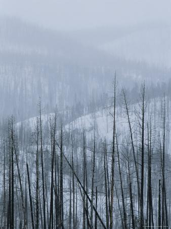 A Winter View with Snow of a Burnt Forest