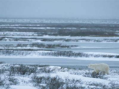 A Polar Bear Walking Through a Snowy and Icy Landscape